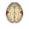 Supramarginal gyrus - superior view2.png
