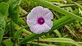 Suriname plants (32723153413).jpg