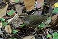 Swainson's Warbler Hooks Wood High Island TX 2018-04-11 09-59-11 (40002107080).jpg