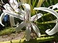 Swamp lily (Crinum asiaticum) 01.jpg