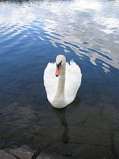 <i>Le cygne</i> music piece by Camille Saint-Saëns, the part of suite The Carnival of the Animals