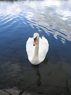 "Le cygne - Le cygne illustrates the fleeting nature of beauty with its interpretation of the legend of the ""swan song"":  A popular (albeit erroneous) belief among the ancient Greeks and Romans, who regarded the swan as the most beautiful of animals, was that the mute swan is silent until its final moments of life, during which it sings the most beautiful of all birdsongs."