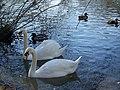 Swans, Heath Pond, Petersfield - geograph.org.uk - 685132.jpg