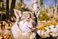 Swedish Vallhund December 2012 015.JPG