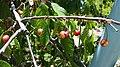 Sweet cherry disease.jpg