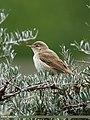 Sykes's Warbler (Iduna rama) (27860008249).jpg