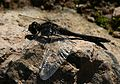Sympetrum danae (Black Darter or Black Meadowhawk) - Flickr - S. Rae.jpg