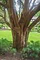 Syzygium smithii in Wellington Botanical Garden 01.jpg