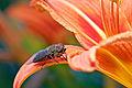 Tabanus bovinus flower1.jpg