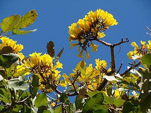 Tabebuia aurea - Image: Tabebuia aurea flowers 2