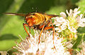 Tachina fera on Mint (13276508783).jpg