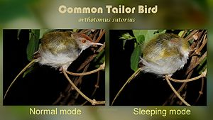 Tailorbird - Tailor bird sleeping behaviour