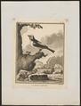 Tangara tatao - 1700-1880 - Print - Iconographia Zoologica - Special Collections University of Amsterdam - UBA01 IZ15900341.tif