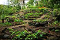 Taro Plants @ Waimea Valley (5217007908).jpg