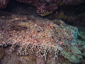 Tasseled wobbegong shark.jpg