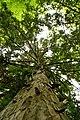 Taxus-baccata 12-18-B WLE2020 Denis-Apel 1.jpg