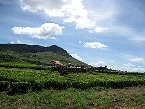 Chilembwe uprising - Modern-day view of a tea plantation at Mlanje