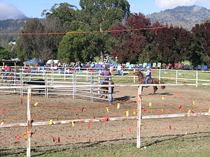 Team penning - Team penning, Murrurundi, New South Wales
