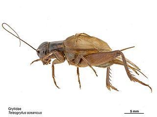 <i>Teleogryllus oceanicus</i> Species of cricket