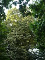 Tell argentat del passeig de la Bonanova P1510533.jpg