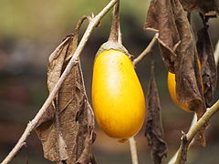 yellow eggplant dangles from brown, dead plant material