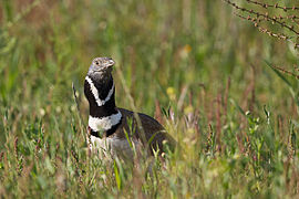 View of the bustard bird on the ground, neck and head emerging from the vegetation