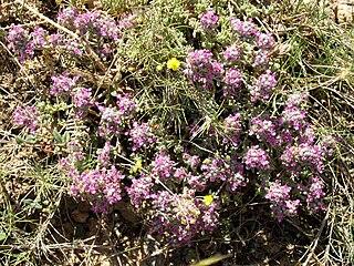 <i>Teucrium gnaphalodes</i> species of plant