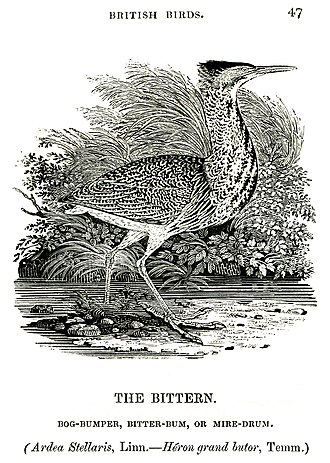 "Eurasian bittern - Wood engraving ""The Bittern, Bog-Bumper, Bitter-Bum or Mire-Drum"" from A History of British Birds, Volume 2, ""Water Birds"", by Thomas Bewick, 1804"