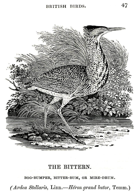 The Bittern Thomas Bewick 1804