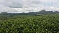 The Mambilla Plateau Highland Tea Farm, Nigeria 05.jpg