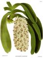 The Orchid Album-02-0027-0056-Saccolabium giganteum.png