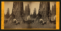 The Sentinel, 300 ft. high, 69 ft. in circumference. Calaveras Grove,, by Muybridge, Eadweard, 1830-1904.png