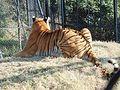 The Zoo- tiger2.jpg