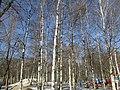 The birches. February 2014. - Берёзы. Февраль 2014. - panoramio.jpg