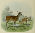 The deer of all lands (1898) Pekin sika.png