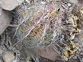 Thelocactus bicolor (5686841756).jpg