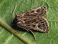 Tholera decimalis - Feathered Gothic - Плевельная совка белополосая (41034894272).jpg