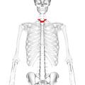 Thoracic vertebra 1 frontal.png