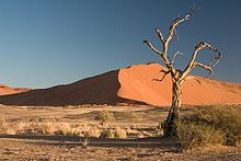 camel thorn tree, Acacia erioloba in the Namib Desert in Namibia