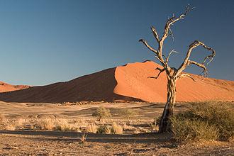 Paleotropical Kingdom - Acacia erioloba in the Namib Desert