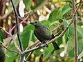 Thraupis palmarum -Trinidad-8.jpg
