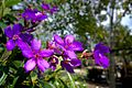 Tibouchina Granulosa (Purple Glory Tree) (28789172072).jpg