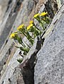 Tonestus peirsonii Inyo tonestus side from-rock.jpg