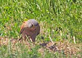 Tornfalk Common Kestrel (14494455793).jpg