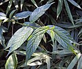 Tournefortia heyneana 19.JPG