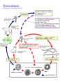 Toxocara Lebenszyklus.png