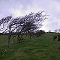 Tree-lined field boundary near Penlan farm - geograph.org.uk - 703844.jpg