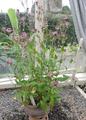 Tricyrtis formosana - National Botanic Gardens (Ireland).png