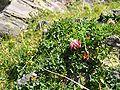 Trifolium thalii.jpg