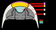 Trilobiitti kefalonin vatsan anatomia.png